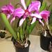 C. purpurata var. flamea – Carl Wood