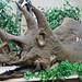 Triceratops prorsus (ceratopsian dinosaur) (Upper Cretaceous; north of Baker, Montana, USA) 1