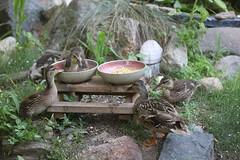 Lucy & Desi & Ducklings - Mallard Duck Couple (Ypsilanti, Michigan) - 207/2021 45/P365Year14 4793/P365all-time (July 26, 2021)