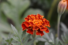 Marigold Blossom And Foliage.