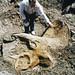 Triceratops prorsus (ceratopsian dinosaur) (Upper Cretaceous; north of Baker, Montana, USA) 4