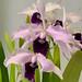 L. purpurata 'Schusteriana' – Jerry and Anita Spencer