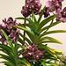 Vanda Kulwadee 'Fragrance #27' – Ken Campbell