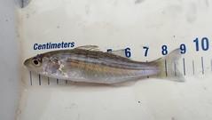 Juvenile striped bass