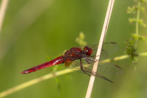 Ruddy Darter / Bloedrode Heidelibel