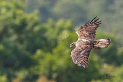 A Bonelli's Eagle Carrying Nesting Materials