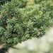 Evergreen bonsai tree branches, close-up