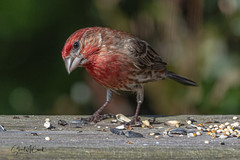 Puzzled House finch (m)