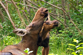 Mama Moose Getting A Chin Rub From Her Calf