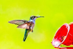 Hovering while wasps compete at the feeder