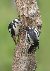 'Feeding it's young' - Great Spotted Woodpecker