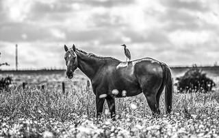 Cattle Egret (hron garde-boeufs, Bubulcus ibis) riding an horse. 2021 07 28 ARCAIS CHEVAL HERON