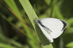 Photo of Butterfly - Small White