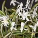 V. falcata 'Nishidemiyako' 'Bell Orchidea' – Phyllis Prestia
