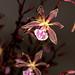 E. x gracilis 'Brownie Points' x E. Jungle Hampshire – Anita Spencer