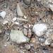 Fluvial gravel (Pleistocene; Spokane Sapphire Mine, Montana, USA) 12