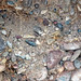 Fluvial gravel (Pleistocene; Spokane Sapphire Mine, Montana, USA) 9