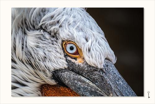von Pelikanen