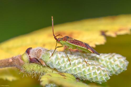 Pantilius tunicatus (a Mirid bug) - adult