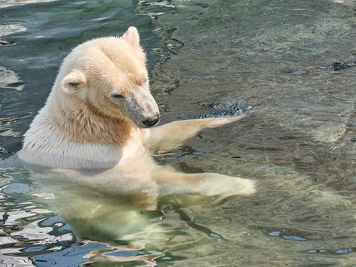 Polar bear in water,  Copenhagen Zoo