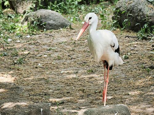 Stork living in Copenhagen Zoo