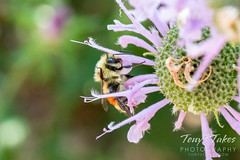 August 8, 2021 - A bee visits a Thornton backyard. (Tony's Takes)
