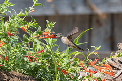August 8, 2021 - A hummingbird gets a meal. (Tony's Takes)