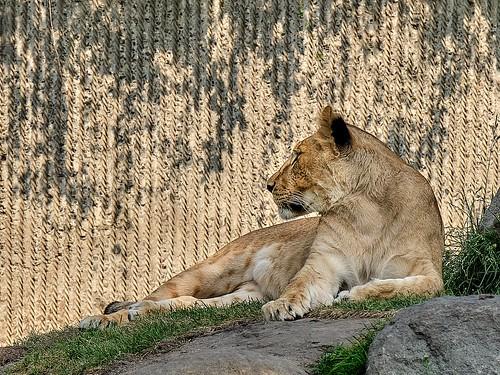 Female lion in Copenhagen Zoo
