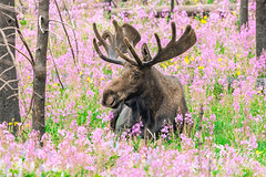 August 1, 2021 - Bull moose among the wildflowers. (Tony's Takes)