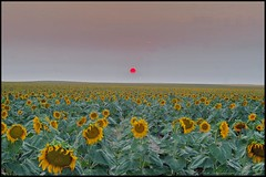 August 8, 2021 - An eerie sunset over sunflowers. (Bill Hutchinson)
