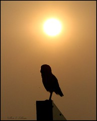 August 8, 2021 - Silhouetted burrowing owl. (Bill Hutchinson)