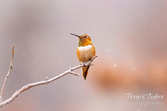August 3, 2021 - A rufous hummingbird standing guard. (Tony's Takes)