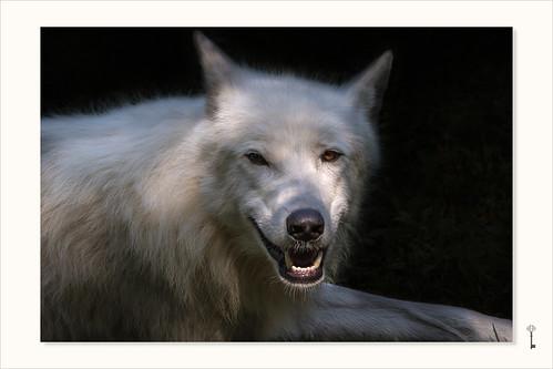 der räudige Wolf