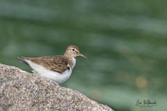 A Common Sandpiper looking for a spot