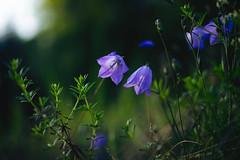 Campanula rotundifolia 3