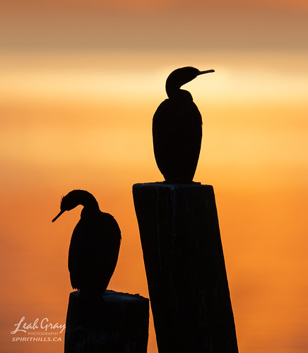 """Early Morning Cormorants • <a style=""""font-size:0.8em;"""" href=""""http://www.flickr.com/photos/106269596@N05/51380791129/"""" target=""""_blank"""">View on Flickr</a>"""