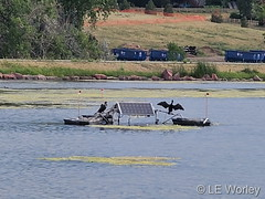 August 15, 2021 - Cormorants hanging out at the rec center ponds. (LE Worley)