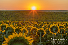 August 14, 2021 - Sunflowers greet the sunrise. (Tony's Takes)