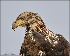 August 14, 2021 - Young bald eagle posing. (Bill Hutchinson)
