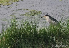 August 15, 2021 - A black-crowned night heron at the rec center. (LE Worley)