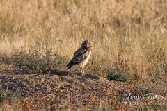 August 14, 2021 - Young burrowing owl on the plains. (Tony's Takes)