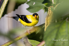 August 13, 2021 - American goldfinch in Thornton. (Tony's Takes)