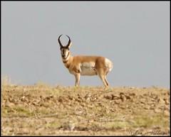 August 15, 2021 - Pronghorn buck on watch. (Bill Hutchinson)
