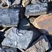 Cow Branch Formation (Upper Triassic; Pit B of Solite Quarry, near Eden, North Carolina, USA) 42