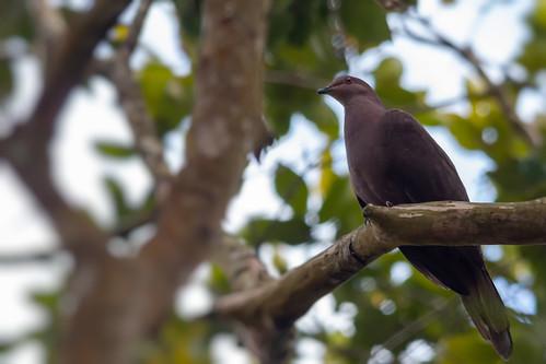 Ruddy Pigeon \ Paloma Morada (Patagioenas subvinacea)