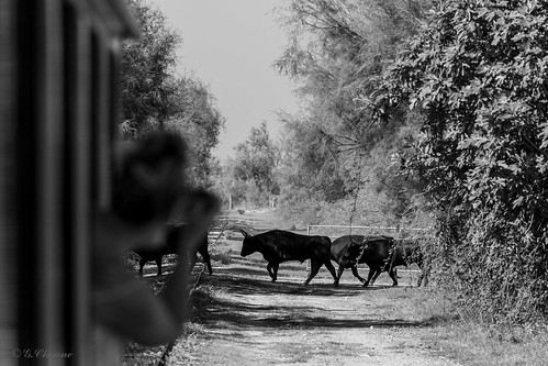 Bulls from the train