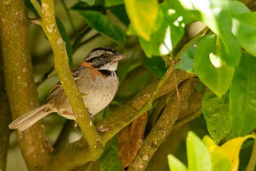 Rufous-collared Sparrow   Correporsuelo (Zonotrichia capensis)