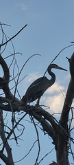 August 21, 2021 - Silhouetted great blue heron.  (David Canfield)