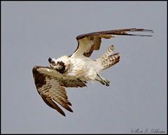 August 19, 2021 - An osprey shakes off. (Bill Hutchinson)