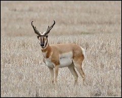 August 19, 2021 - Pronghorn buck with some big horns. (Bill Hutchinson)